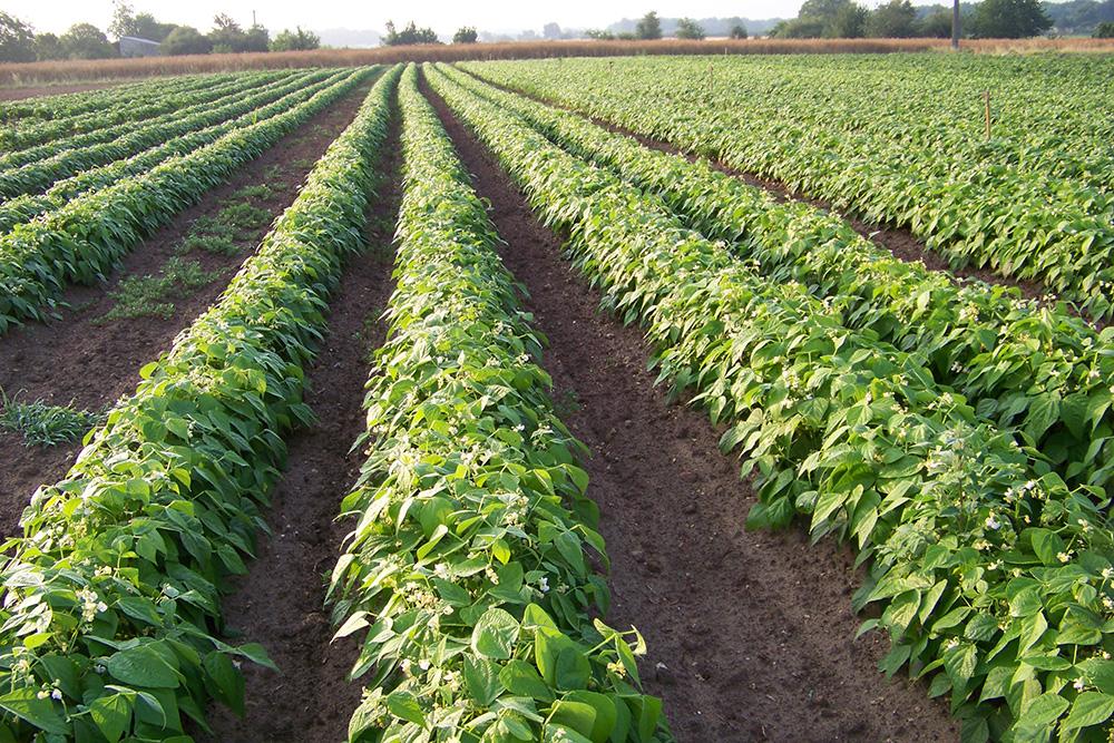 Domaine coussot l gumes issus de l 39 agriculture biologique l gumes feuilles l gumes fruits - Haricot vert fruit ou legume ...